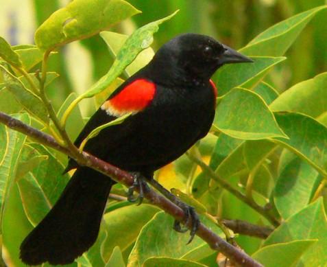 A Redwing Bird